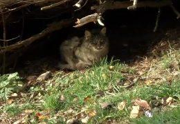 Wilde Hauskatzen werden in der Eifel zum Problem
