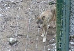 Ausgebrochener Wolf hält Nordhessen in Atem