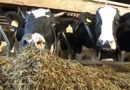 Blauzungenkrankheit wird für Viehzüchter zum Problem