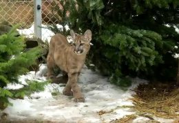 Puma-Nachwuchs in Masweiler