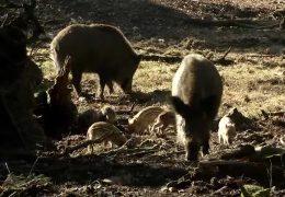 Alte Fasanerie Hanau: Frühlingsgefühle im Wildschweingehege