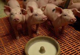 Schweinebauern mit Existenzängsten