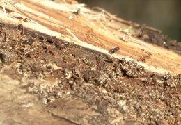 Borkenkäferplage bedroht die Forstwirtschaft