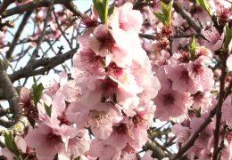 Mandelblütenfest in Gimmeldingen