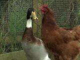 Huhn hält sich für Ente