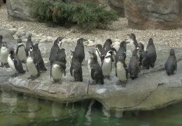 Neue Pinguin-Anlage im Frankfurter Zoo