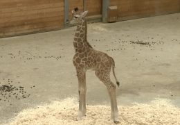 Giraffennachwuchs im Opel-Zoo