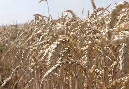 Bilanz: Bauern in Rheinland-Pfalz sind mit der Ernte unzufrieden