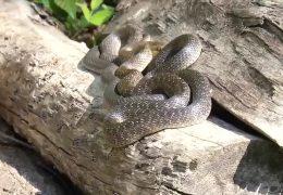 Äskulapnatter ist die größte heimische Schlangenart