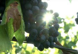 Weinlese 2019 – wenig Ertrag und hohe Qualität