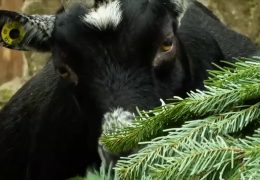 Weihnachtsbäume als Tierfutter