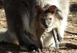 Känguru-Nachwuchs im Zoo Kaiserslautern