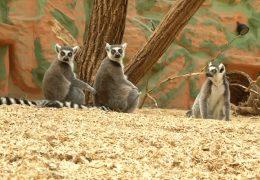 Zur Besuch in der Katta-WG im Zoo Kaiserslautern