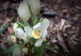 Wilde Orchideen in Rheinhessen
