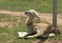 Überraschende Geburt – Lamababy Axel kommt bei Lama-Wanderung zur Welt
