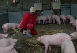 Schweinemäster bleiben auf Tieren sitzen