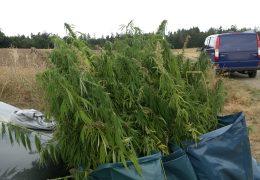 Polizei vernichtet Cannabis-Feld