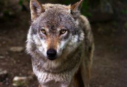 Wolf reißt Schafe in Südhessen