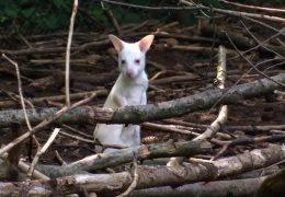 Albino-Känguru Mila verschwunden