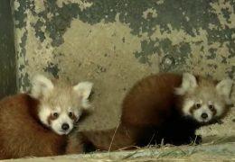 Zoo Neuwied: Nachwuchs bei den roten Pandas