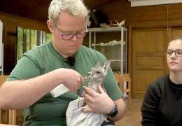 Tierpfleger ziehen Kängurubaby groß