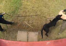 Schutzhundausbildung der Polizei