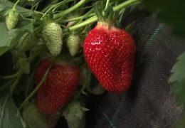 Die hessische Erdbeersaison ist offiziell eröffnet