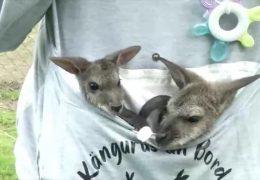 Känguru-Babys finden Adoptiveltern
