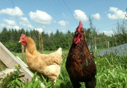 Ein Dorf und seine Hühner