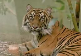Zwei Tigerweibchen zu Gast im Frankfurter Zoo