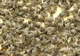 Nasser Frühling vermasselt die Bilanz – Imker klagen über schlechte Honigernte
